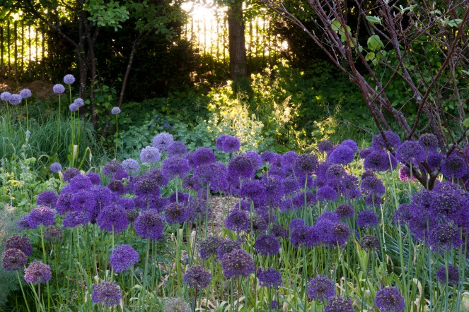 Allium 'Purple Sensation', und 'Globemaster' (links)