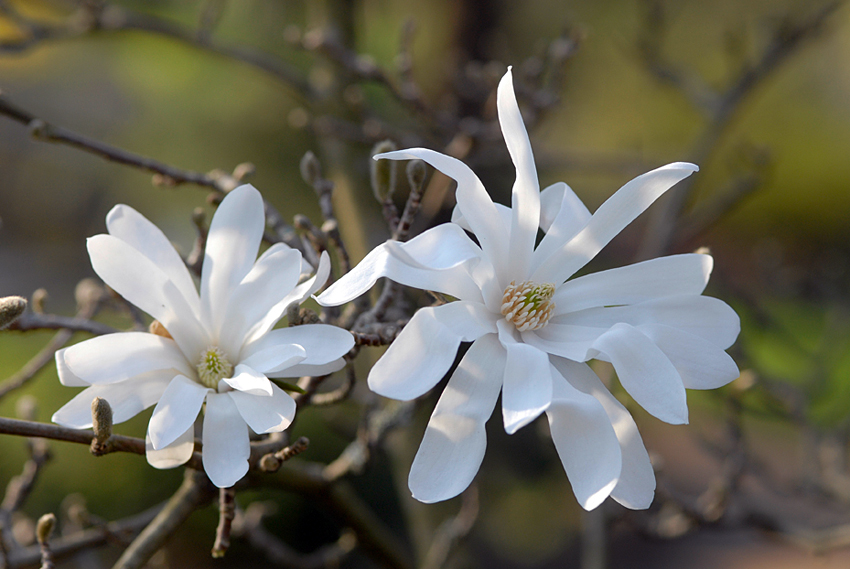 Close up der weissen Sternmagnolie (magnolia stellata).